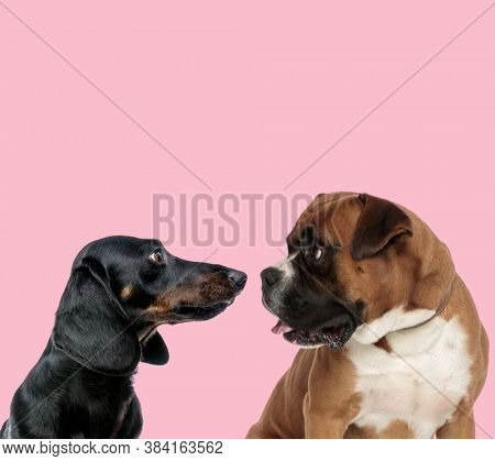 team of teckel dachshund and boxer looking at each other and panting on pink background