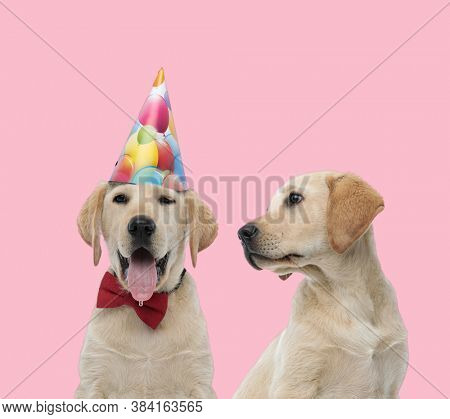 team of two labradors retriever wearing birthday party and bowtie, panting and sticking out tongue on pink background