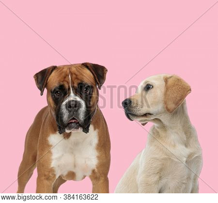 team of boxer and labrador retriever looking to side and panting on pink background