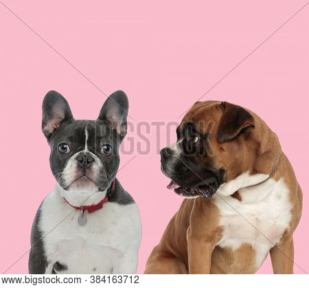 team of french bulldog and boxer wearing red collar and panting on pink background