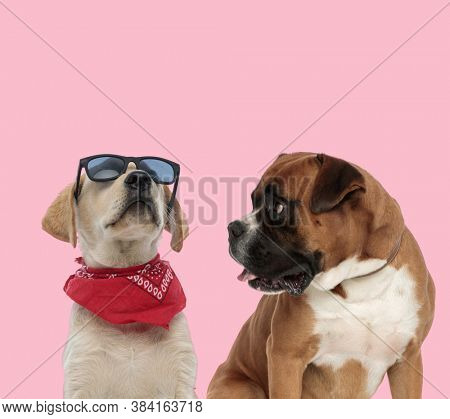 team of labrador retriever and boxer wearing sunglasses and red bandana panting and sticking out tongue on pink background