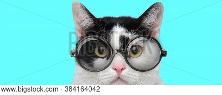 nerdy young metis cat with big eyes wearing eyeglasses and looking at camera on blue background