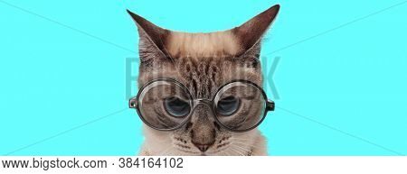 young angry metis cat wearing eyeglasses and looking at camera with mad eyes on blue background