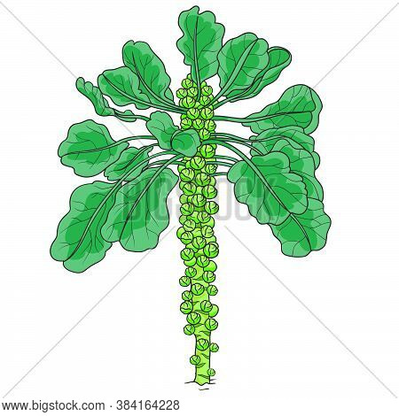 Green Brussels Sprouts Bush, Isolated Object, Vector Illustration, Cartoon Illustration, Eps