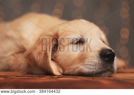 sleepy golden retriever puppy laying head on the floor and falling asleep on background lights