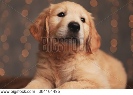 cute golden retriever puppy laying down and looking up on background lights