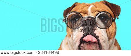cute playful English Bulldog dog teasing, sticking out tongue and wearing eyeglasses on blue background