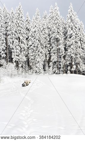 Winter Landscape In Fir Forest On Glade With Playful Dog ( Siberian Husky ) Lying On The Back And Pa