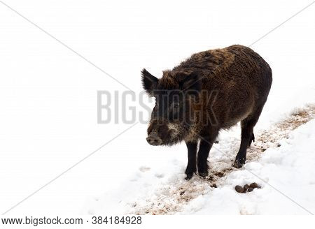 Wild Boar ( Sus Scrofa, Known As The Wild Swine, Wild Pig ) Walking Along A Dirt Path In The Snow On