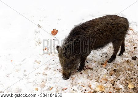 Wild Boar Piglet ( Sus Scrofa, Known As The Wild Swine, Wild Pig ) Eating On The Mud Dug Up From The