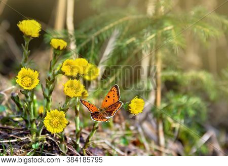 Orange Butterfly With Black Dots Scarce Copper On Yellow Flowers Coltsfoot ( Tussilago Farfara, Tash
