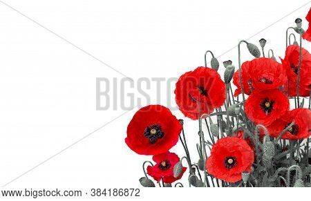 Flowers Red Poppies (papaver Rhoeas, Common Names: Corn Poppy, Corn Rose, Field Poppy, Red Weed, Coq