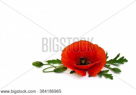 Flower Red Poppy And Buds ( Papaver Rhoeas, Common Names: Corn Poppy, Corn Rose, Field Poppy, Red We
