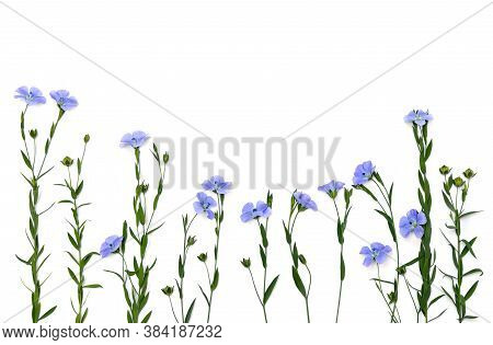 Blue Flowers Flax And Capsule With Seed Flax ( Linum Usitatissimum, Linseed ) On A White Background