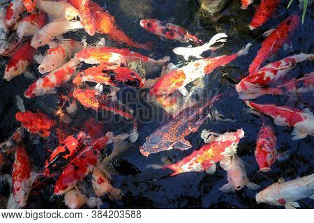 Movement Of Many Colorful Carp Fish In The Water. Background Of Fancy Fish All Of The Frame.