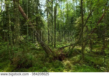 Landscape Of Overgrown Wild Forest In Summer. There Are Fallen Tree Trunks With Twisted Roots. The S