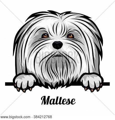 Head Maltese - Dog Breed. Color Image Of A Dogs Head Isolated On A White Background