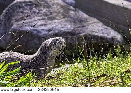 Lutra Lutra Known As Eurasian River, European, Common And Old World Otter