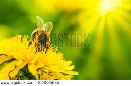 Honey Bee Covered In Pollen Collecting Nectar From Dandelion Flower In The Spring Time. Useful Photo