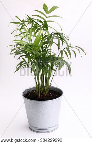 Neanthe Bella Palm plant in a metal flower pot isolated on white