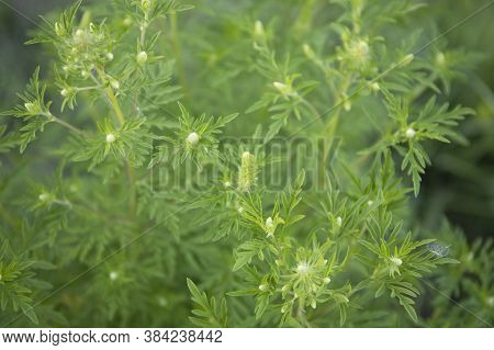 Flowering Ragweed Plant Growing Outside, A Common Allergen Outdoors