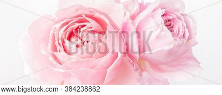 Romantic Banner, Delicate White Roses Flowers Close-up. Fragrant Crem Pink Petals