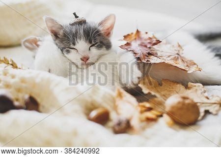 Adorable Kitten In Acorn Hat Sleeping In Autumn Leaves On Soft Blanket. Two Cute White And Grey Kitt