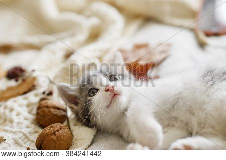 Adorable Kitten Playing With Autumn Leaves And Acorns On Soft Blanket. Autumn Cozy Mood. Cute White