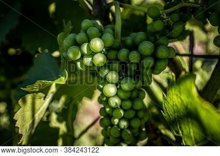 Green Ripe Grapes On A Branch Grows In The Vineyard