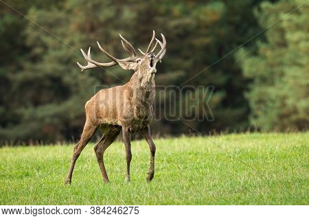 Magnificent Red Deer Stag Roaring On Meadow In Autumn.