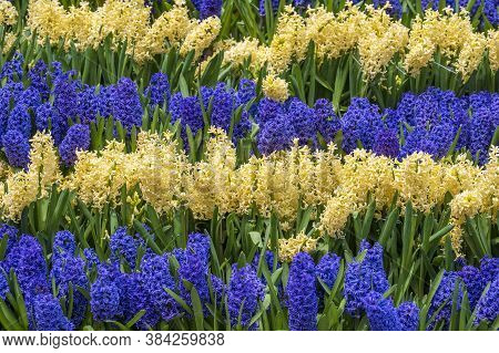 Beautiful Blue And Yellow Vietnamese Flowers Tien Ong Adorn A Flower Bed In Mountain Village Sapa, N