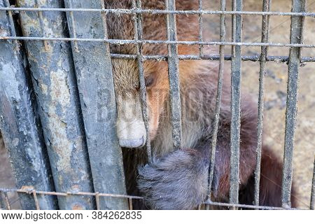 Sad Brown Bear In An Iron Cage. Brown Bear In The Zoo In Captivity. Poor Animal Keeping In Cages . H