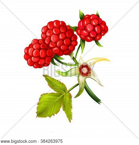 Loganberries On White Background. Loganberry Rubus Loganobaccus Hexaploid Hybrid Produced From Polli