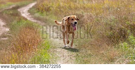 A Shot Of A Brown Hound Dog Running And Hunting On A Road In The Country.