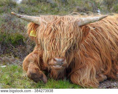 A Shaggy Ginger Highland Cow In Scotland