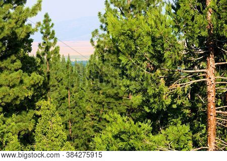 Lush Alpine Coniferous Trees At A Temperate Forest Overlooking The Sierra Valley Taken In The Northe