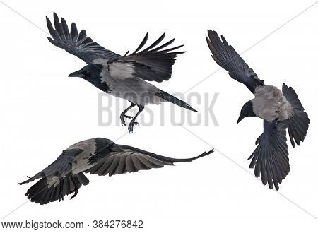 flying grey crows isolated on white background