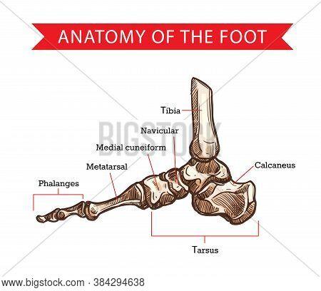 Foot Bones Vector Sketch Of Human Anatomy, Orthopedics Medicine Design. Side View Of Skeleton Leg Wi