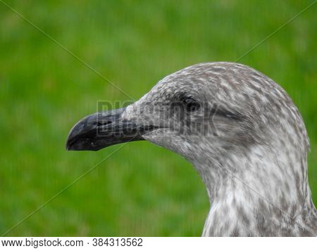 A Juvenile Southern Black-backed Gull In The Grass