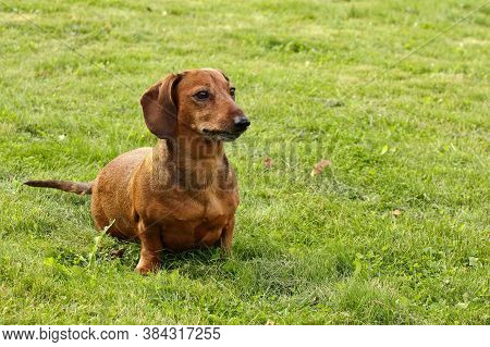A Red-haired Short-haired Dachshund Is Sitting On The Lawn. On The Green Lawn, Birch Leaves Lie As T