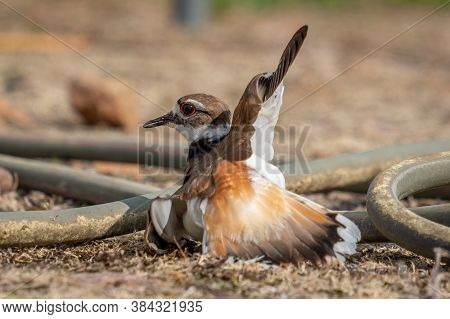 An Adult Killdeer, Either The Mother Or Father, Will Pretend To Be Injured To Lure Away Potential Pr