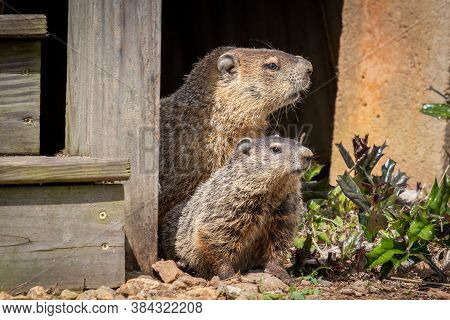 A Mother Groundhog And Her Kit Peer Out From Beneath A Deck. Raleigh, North Carolina.