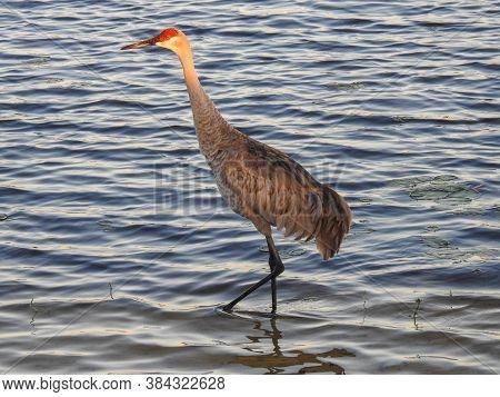 Sandhill Crane Steps Into The Sunlight, Orlando Wetlands, Florida