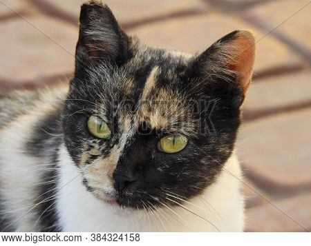 Stray Calico Cat With Yellow Eyes In A Moroccan Village