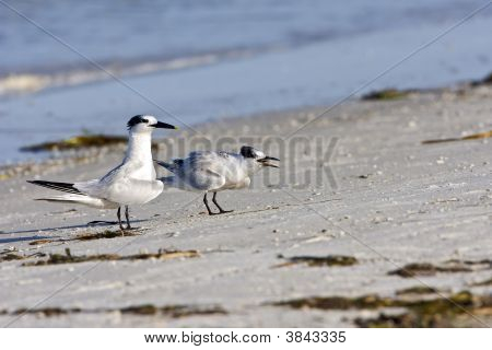 Baby Sandwich Tern Screeming For Food From His Mother