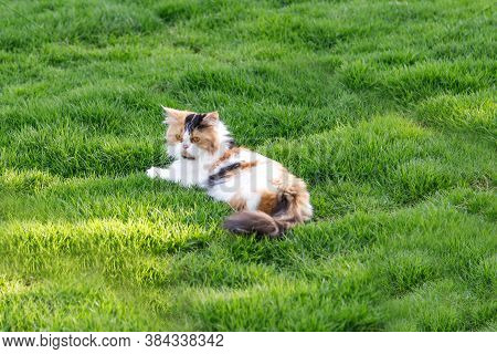 The Persian Cat Is Sitting On A Green Grass Field, Selective Focus Shallow Depth Of Field