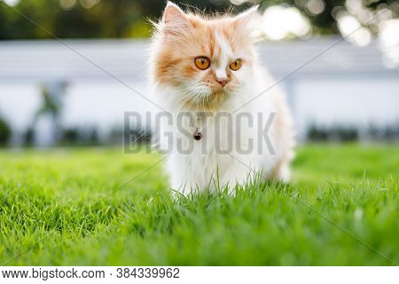 The Cute Persian Cat Is Walkinng On A Green Grass Field, And Looking Something, Selective Focus Shal