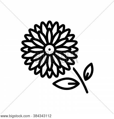 Black Line Icon For Chrysanthemum Daisy Marguerite Camomile Horticulture Blooming Natural Flower Bot