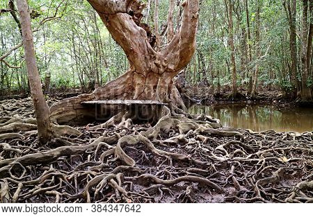 Empty Wooden Bench At The Tree Trunk In Mangrove Forest With Breathtaking Tree Roots Spreading Aroun