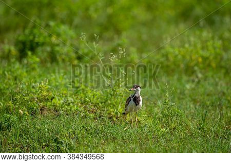 Red Wattled Lapwing Or Vanellus Indicus In Natural Green Grass During Monsoon Seaseon At Wetland Of